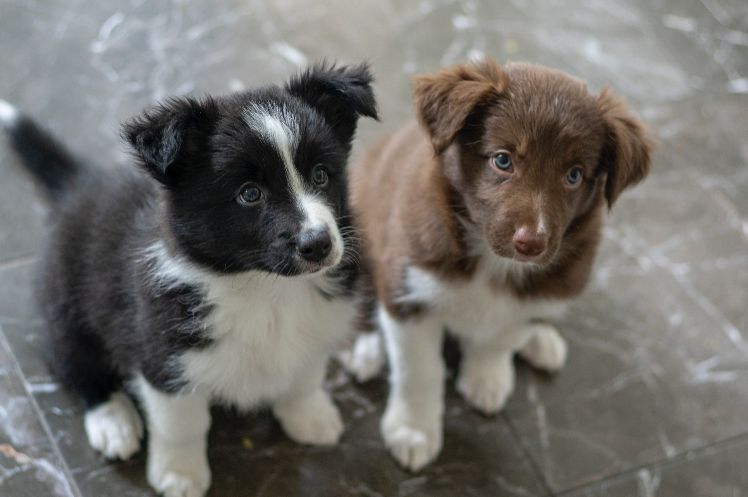 brown and white short coated puppy